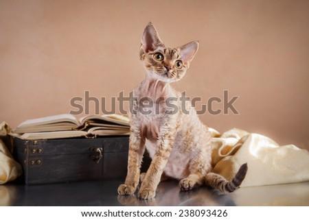 Devon Rex cat, portrait beautiful cat on a color background - stock photo