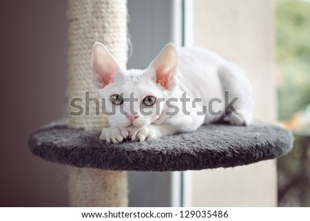 Devon rex cat sitting on scratching post - stock photo