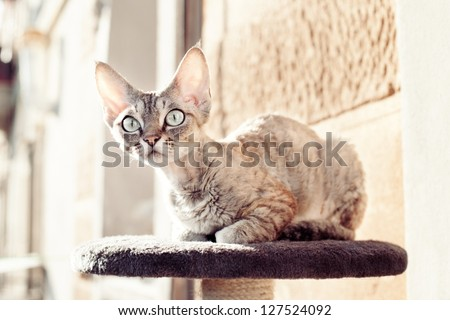 Devon rex cat sitting on the balcony on scratching post - stock photo