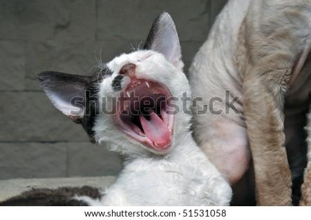 Devon Rex kitten - stock photo