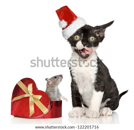 Devon Rex kitten in Santa hat with mouse in heart box posing on a white background - stock photo