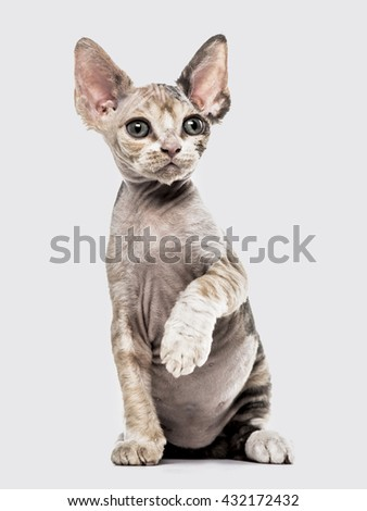 Devon Rex kitten on hind legs, pawing up and looking away, isolated on white - stock photo
