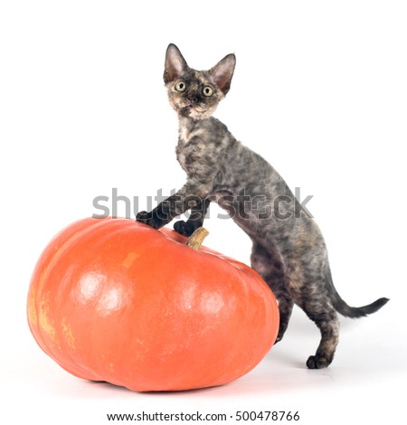 Devon rex purebrebred cat on white