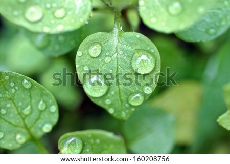Dew droplets on green leaves - stock photo