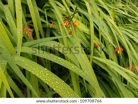 Dew drops on blades of green leaves with red flowers - stock photo