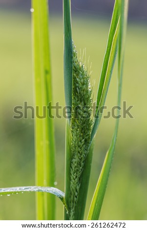 Dew drops on fresh green  grass flower close up - stock photo