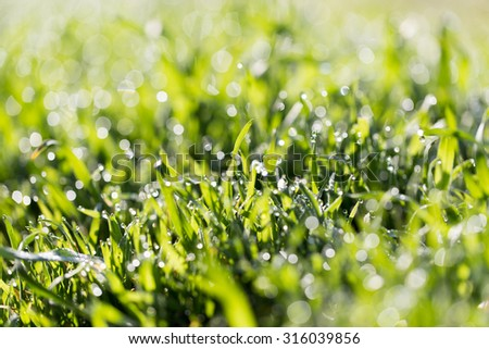 dew drops on green grass in nature - stock photo