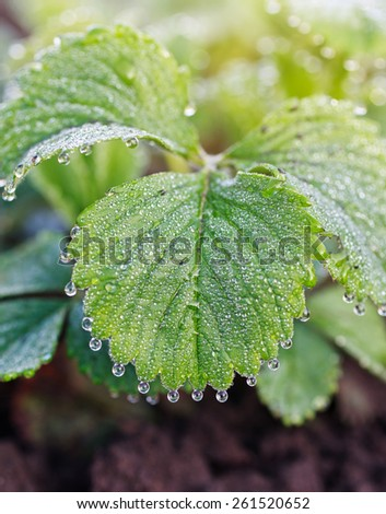 dew drops on green leaf - stock photo