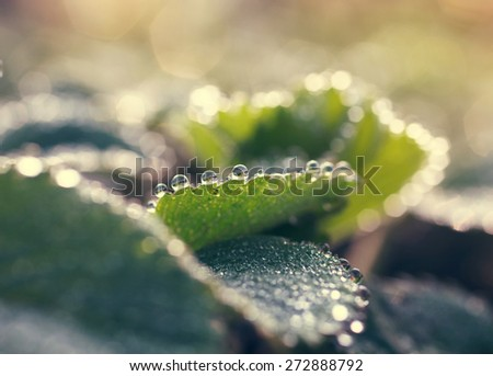dew drops on green leaves - stock photo