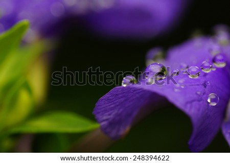 Dew in purple flower - stock photo