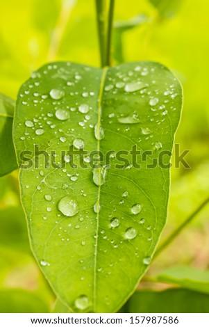 Dew leaves - stock photo