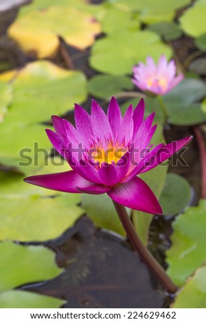 Dew on a lotus flower with lotus bud in the background - stock photo