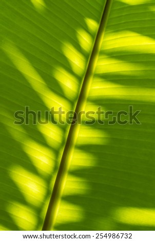 Dew on banana leaf texture is colorful. - stock photo