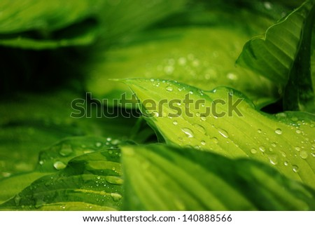 dew on leaves - stock photo