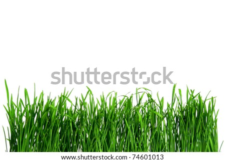 Dew on Seamless fresh spring green grass isolated on white background