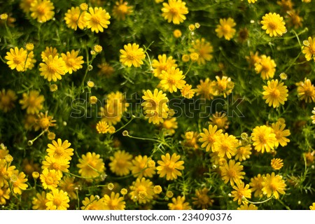 Dew on yellow daisy field under the morning sunlight. - stock photo