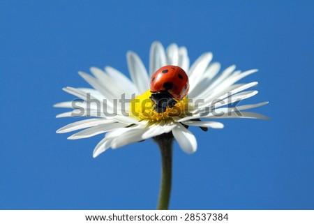 Dewed ladybug on Daisy - stock photo