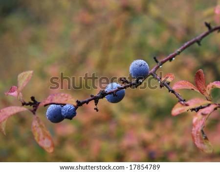 dewy blackthorn - stock photo