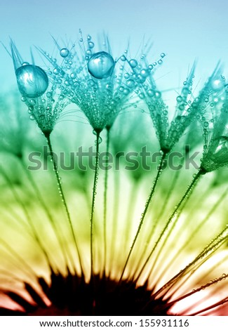 dewy dandelion  - stock photo