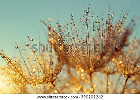 Dewy dandelion flower at sunrise close up - stock photo