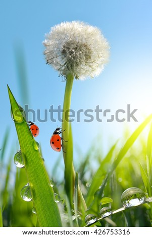 Dewy dandelion flower with ladybugs in grass. Nature background. - stock photo