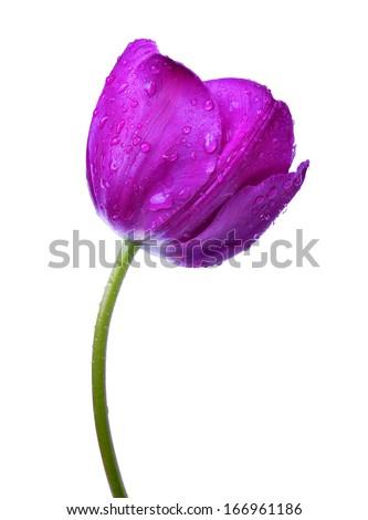 Dewy purple tulip isolated on white background  - stock photo