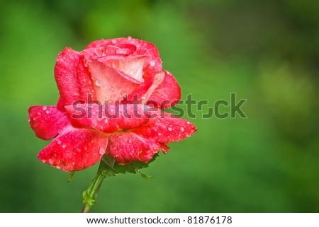 dewy rose flower - stock photo