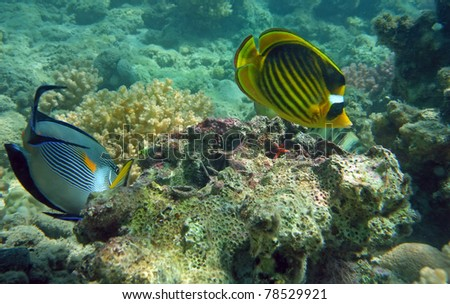 Diagonal Butterfly fish of the Red Sea coral reef