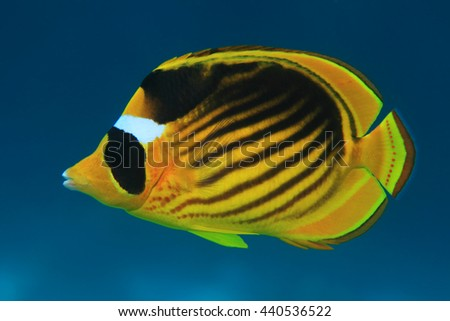 Diagonal butterflyfish (Chaetodon fasciatus) in the coral reef of the red sea - stock photo