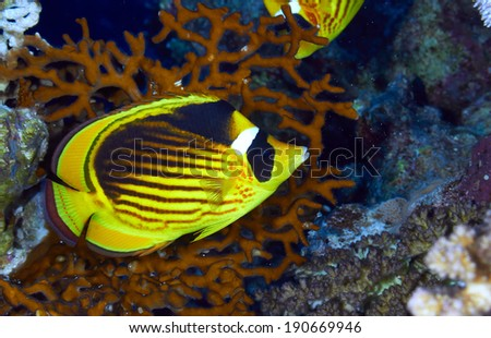 Diagonal-lined butterflyfish (Chaetodon fasciatus) in the Red Sea, Egypt.