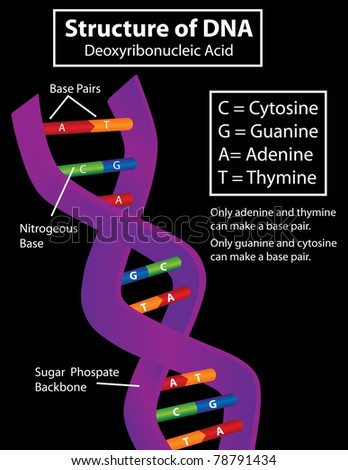 Diagram of a DNA Strand Vector Available - stock photo