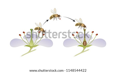 Diagram flower pollination by insect stock illustration 1148544422 diagram of flower pollination by an insect ccuart Gallery