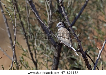 Diamond Dove (Geopelia cuneata) Simpson Desert, Northern Territory, Australia