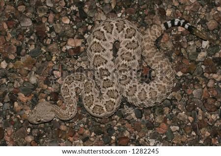 Diamondback rattlesnake from above - entire - stock photo