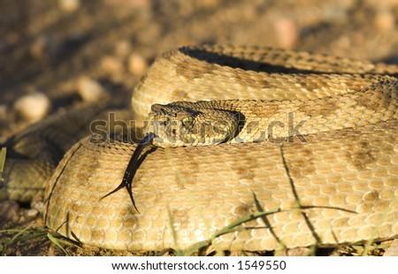 Diamondback Rattlesnake with a menacing look - stock photo