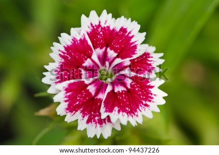 Dianthus chinensis (China Pink) is a species of Dianthus native to northern China, Korea, Mongolia, and southeastern Russia.