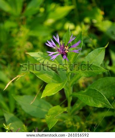 Dianthus superbus - stock photo