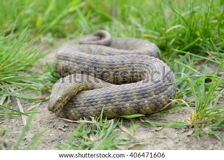 Dice snake (Natrix tessellata) - stock photo