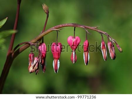 dicentra (bleeding heart) - stock photo
