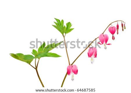 Dicentra - Bleeding Heart Flowers on white background - stock photo