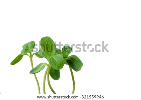 Dicotyledon of Sunflowers are growing up with white background. - stock photo