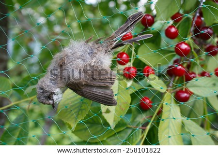 Died pied wagtail stuckto the net - stock photo