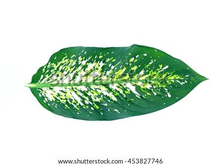 Dieffenbachia leaf isolated on white background - stock photo