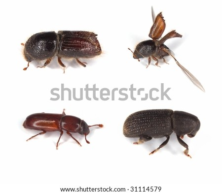 Different bark borers isolated on white, major pests on woods.
