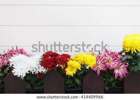Different decorative flowers - gerbera, chrysanthemum, daisy in flowerpots behind wooden fence. White wall with copy space for text, no models - stock photo
