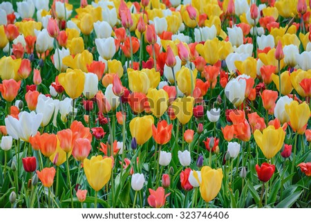 Different Kinds of Tulips - stock photo