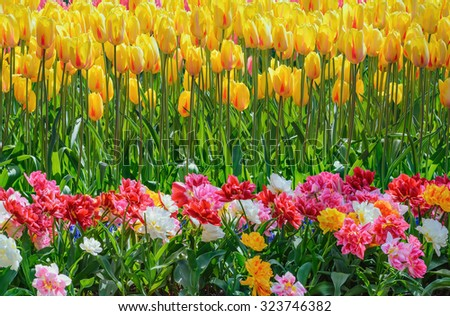 Different Kinds of Tulips Flowers - stock photo