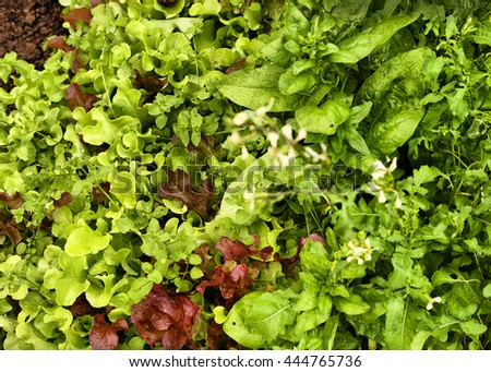 different sort of salad growing  on the seedbed close up photo