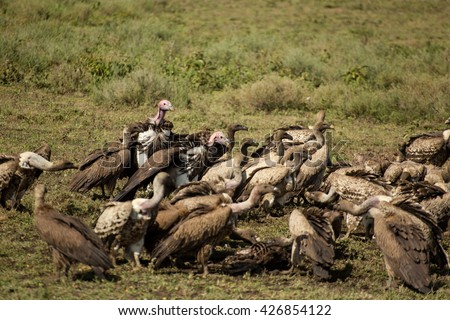 Different species of vultures having lunch in the african savanna