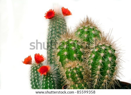 Different types of echinopsis cactus bloom isolated on white - stock photo